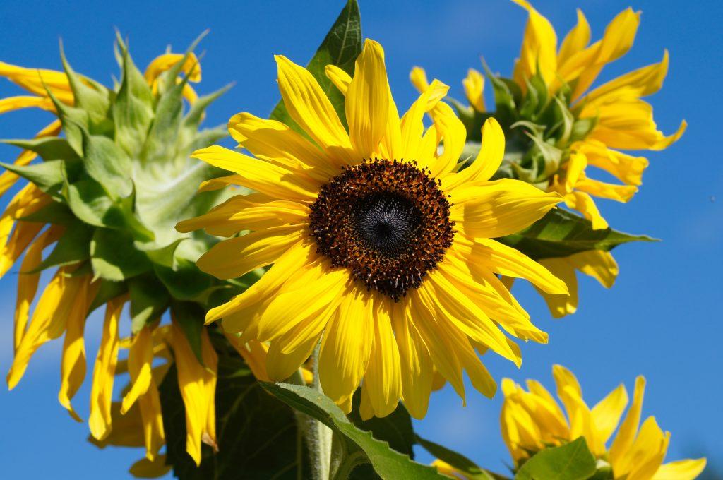 slnečnicový lecitín, Slnečnicový lecitín – poklad zo slnečnice